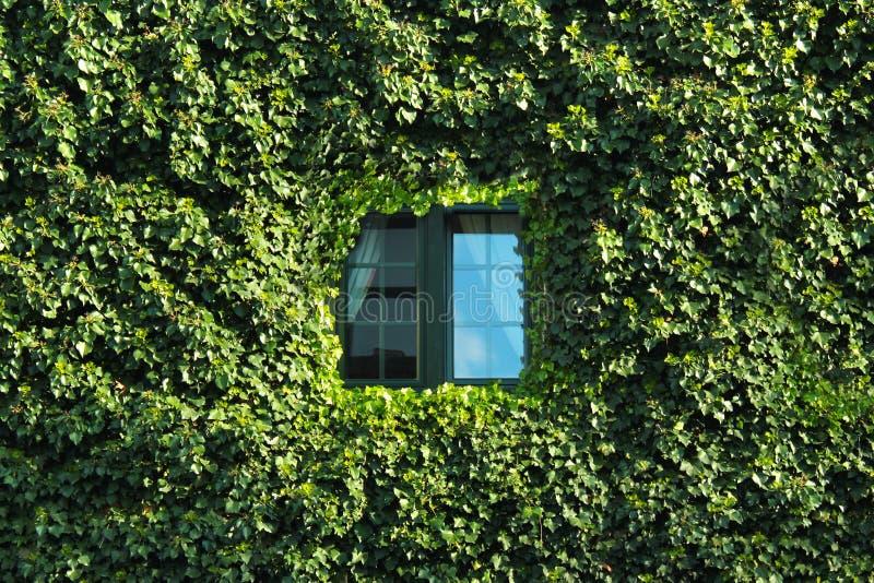 Fenster in einer Wand bedeckt mit grünem Efeu lizenzfreie stockfotos