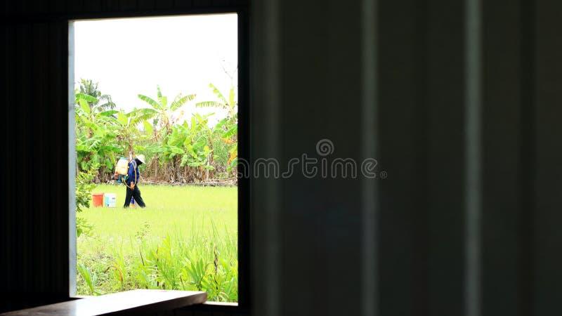 Fenster eines verlassenen hölzernen Hüttenrahmens die Ansicht zu einem grünen üppigen Reisfeld früh mit Landwirten stockfoto