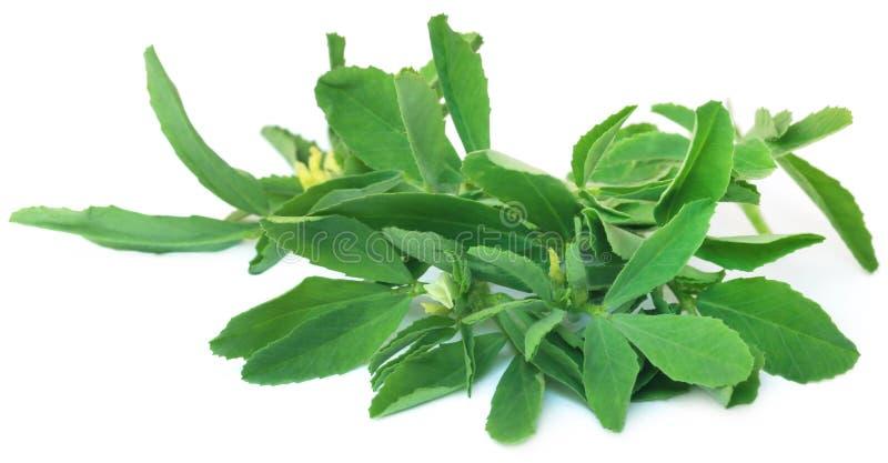 Fenugreek leaves stock photo