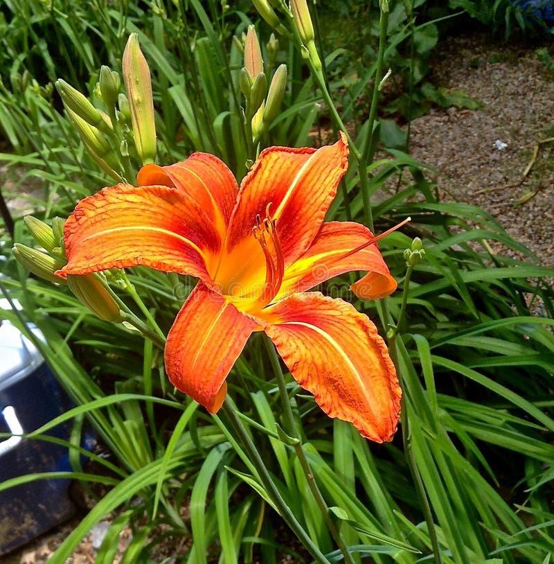 Fenway Victory Gardens Dragon Lily royalty-vrije stock afbeelding