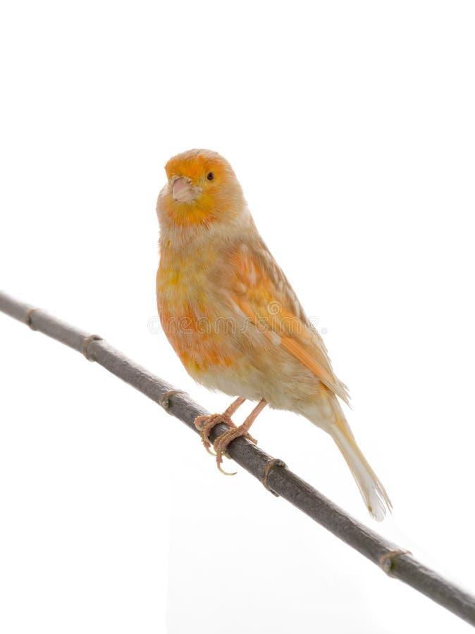 Feo kanariefågel arkivbild