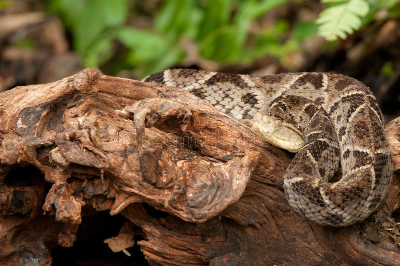 Fer de长矛-哥斯达黎加毒蛇 免版税库存图片
