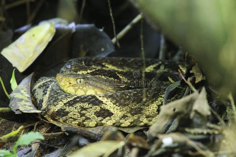 Fer-de-lancia (asper) del Bothrops, Costa Rica fotografia stock
