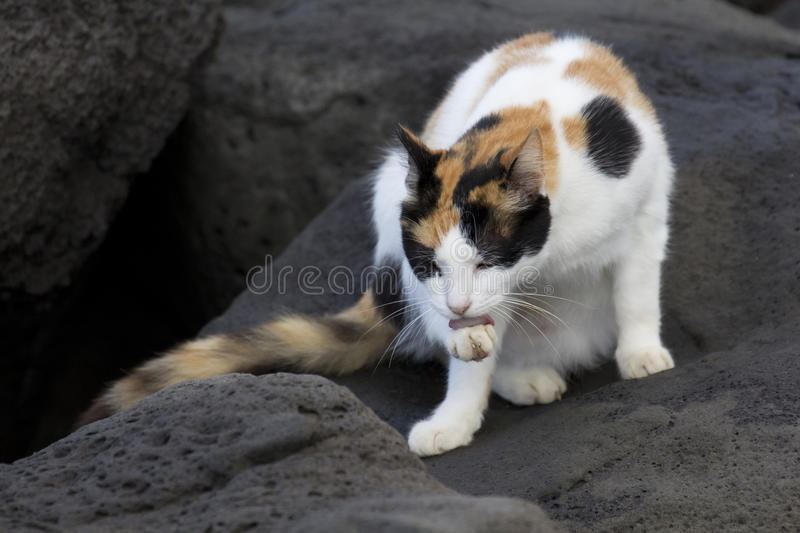 Feral Calico Cat foto de stock royalty free
