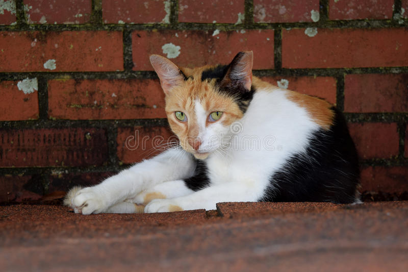 Feral calico cat laying down staring at me stock photo