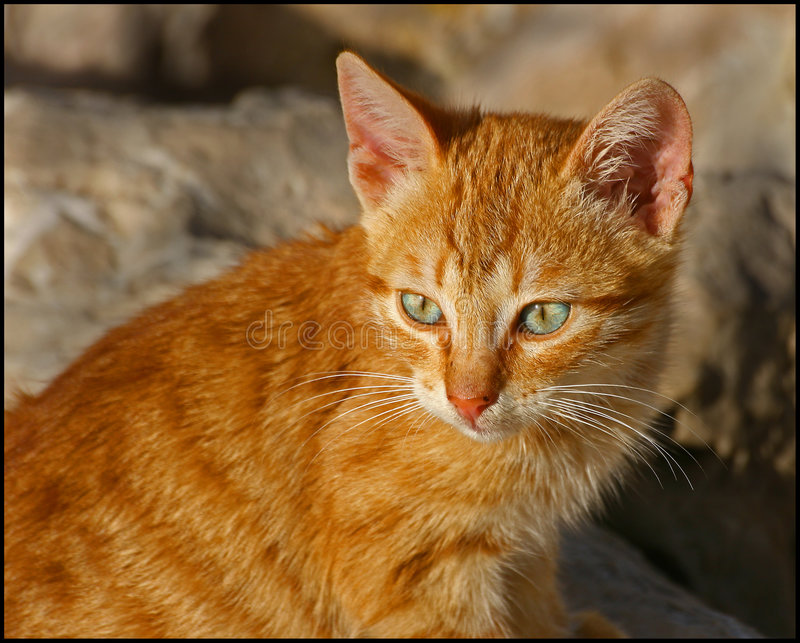 Feral Cat 1 royalty free stock photos
