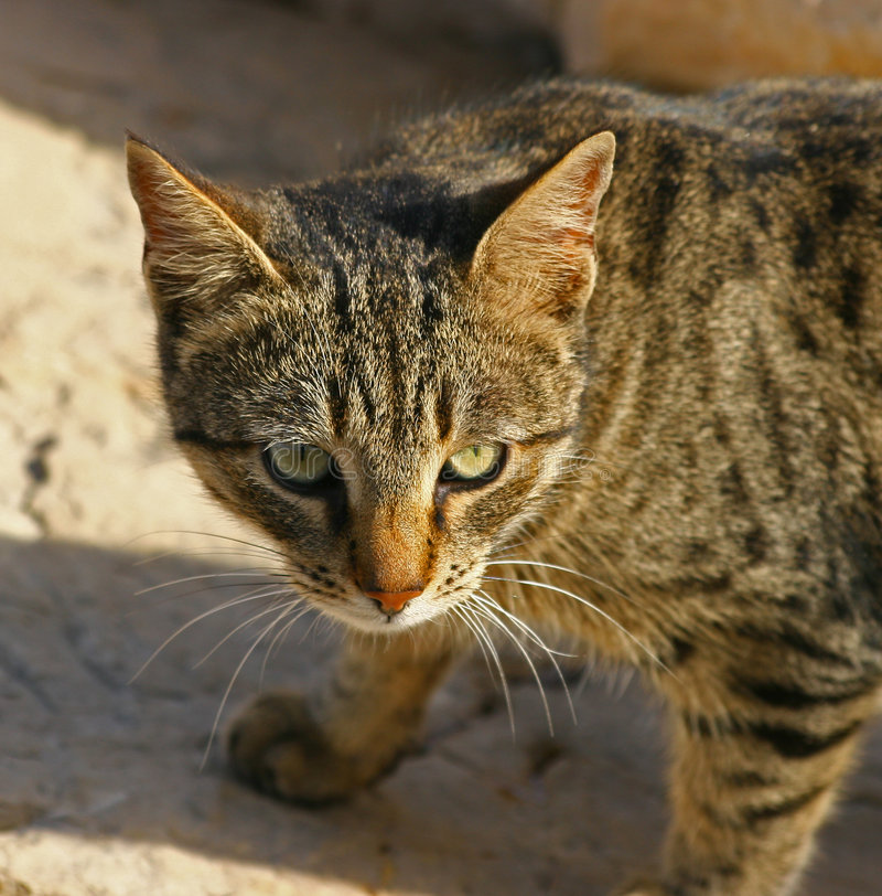 Feral Cat 2 royalty free stock photos