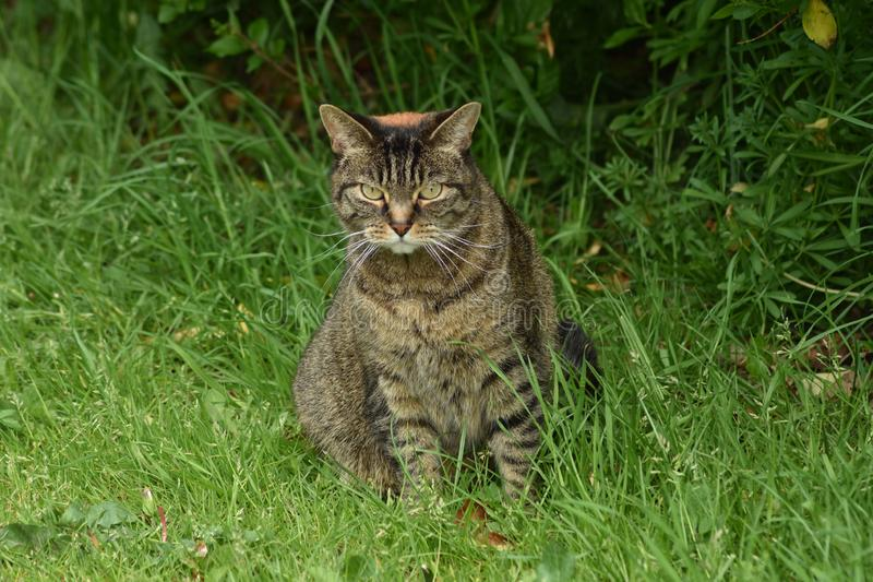 Feral Cat With Attitude Sits In a grama enquanto na caça imagens de stock royalty free