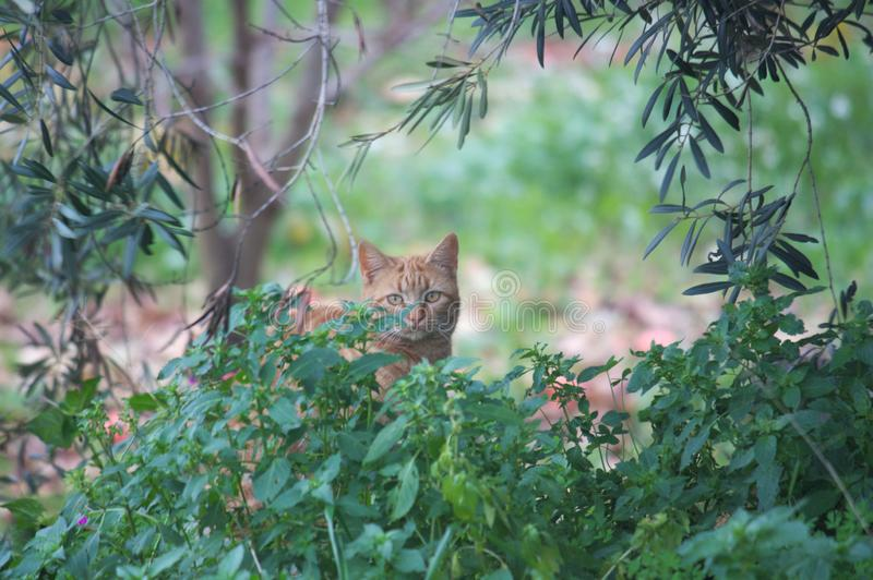 A feral cat looks straight through the brush stock images