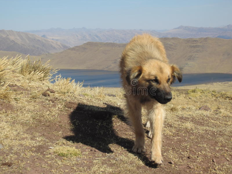Feral Dog in the Mountains of Peru. Feral dog roaming a hiking trail in Peru, in hopes of finding some scraps of food from the passing people royalty free stock photo