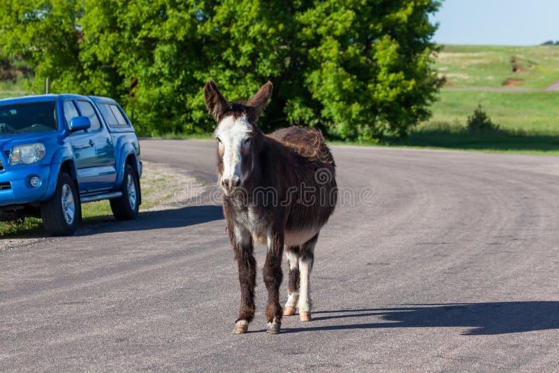 Feral Donkey dans la route images libres de droits