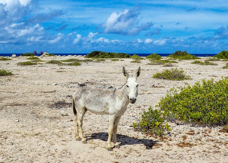 A feral donkey near a beach. A feral donkey living near a beach in Bonaire royalty free stock images