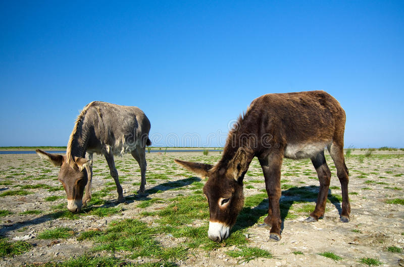 Feral donkeys. On Sacalin Island in the Danube Delta, Romania stock photos