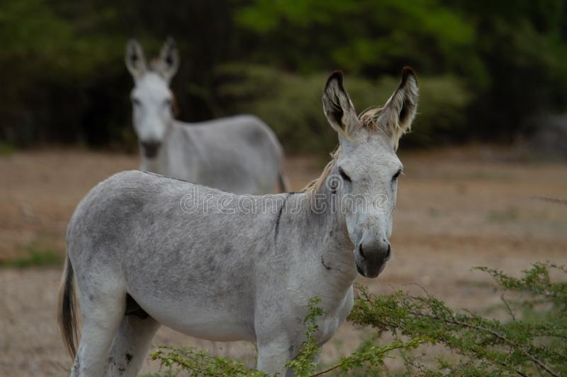Feral Donkeys. In wild on Bonaire, Dutch Caribbean royalty free stock photography