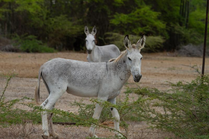 Feral Donkeys. In wild on Bonaire, Dutch Caribbean royalty free stock image