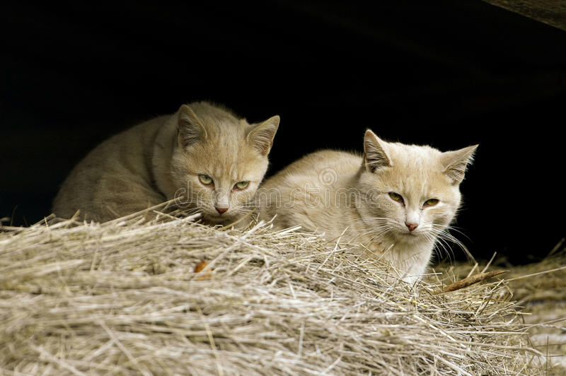 Download Feral Farm Cats stock image. Image of watching, somerset - 13084489