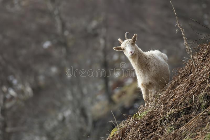 Feral goat, billy, nannay, kid foraging, grazing on a rocky slope in Cairngorm national park, scotland during winter in february. royalty free stock photo
