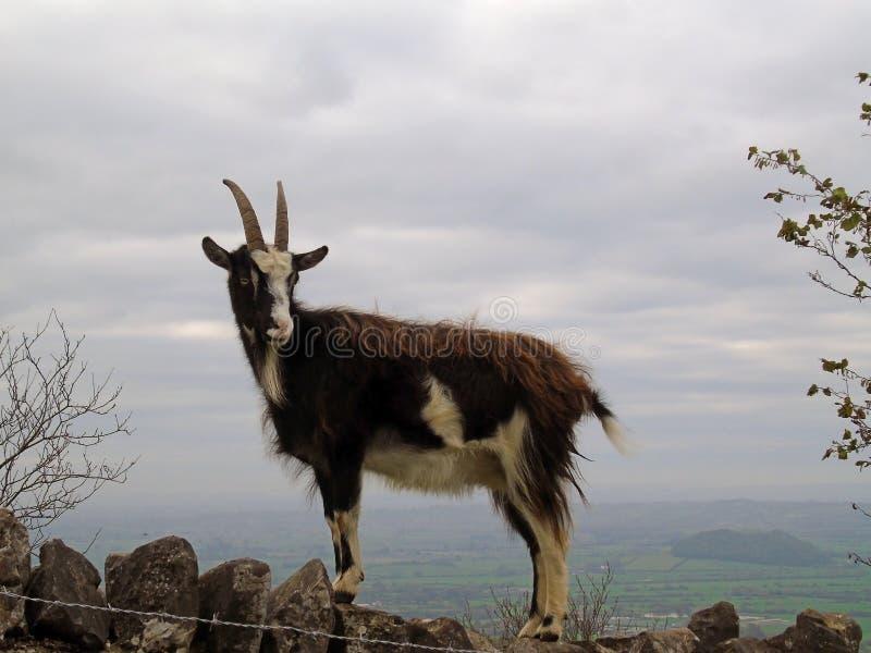 Feral Goat Climbing Stone Wall, desfiladeiro do queijo Cheddar, Somerset, Reino Unido foto de stock royalty free