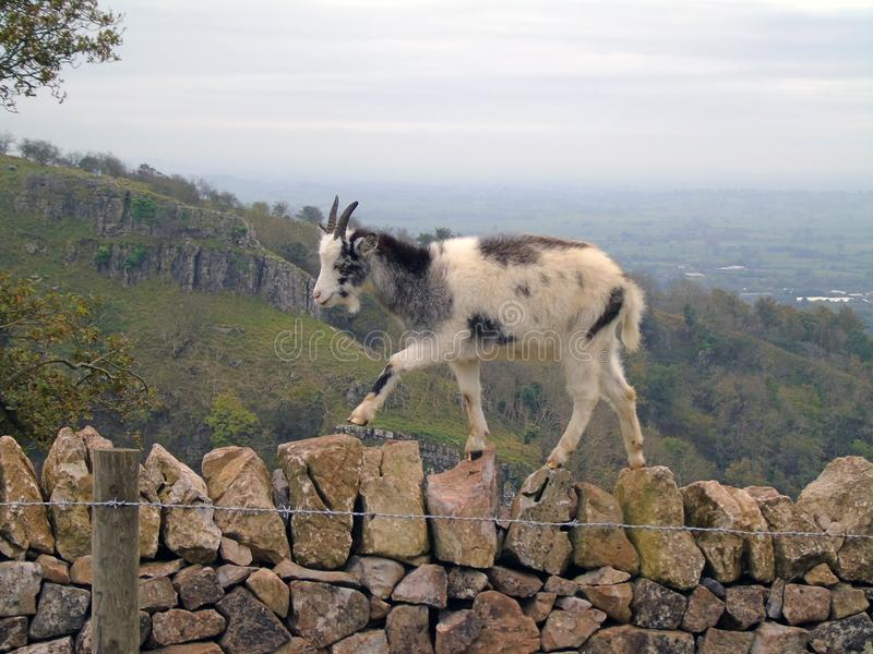 Feral Goat Climbing Stone Wall, desfiladeiro do queijo Cheddar, Somerset, Reino Unido fotografia de stock royalty free