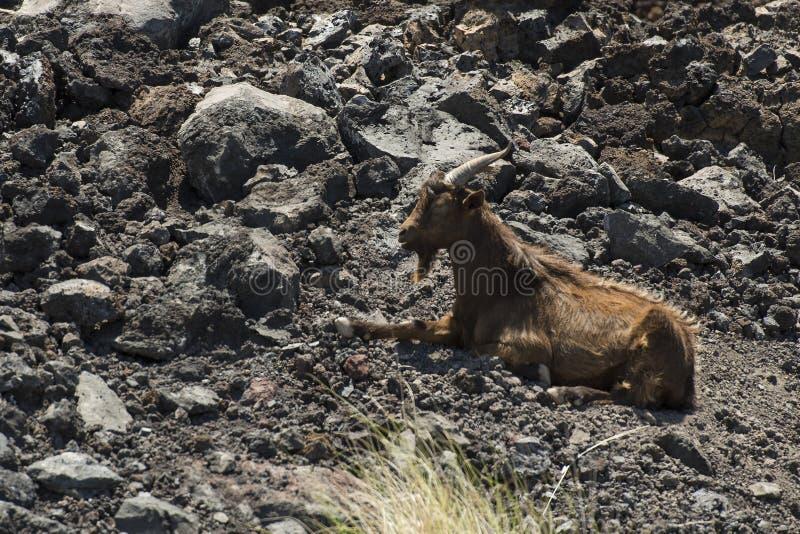 Feral Goats em Havaí foto de stock