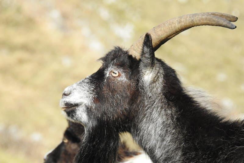 Feral Goats em Somerset England foto de stock