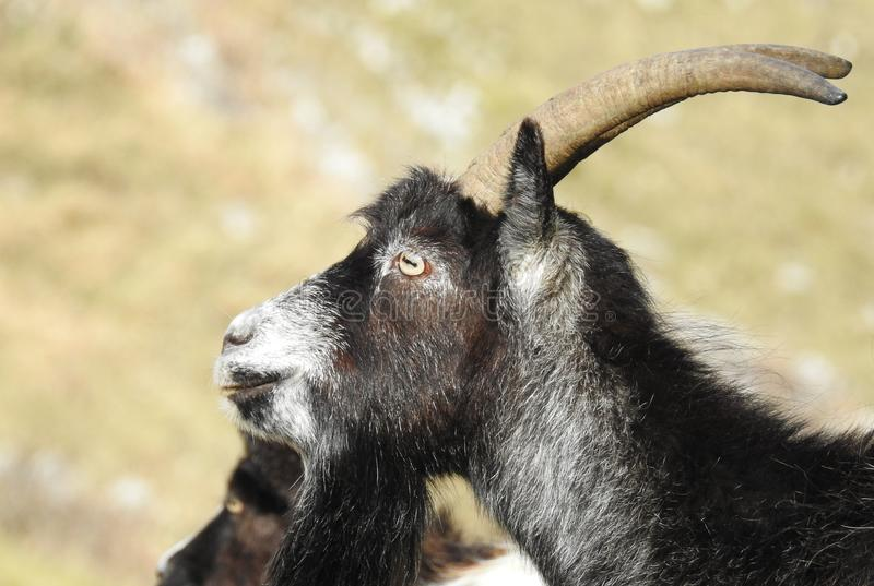 Feral Goats in Somerset England stock photo