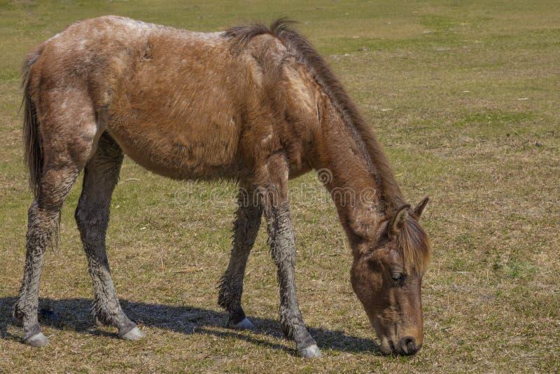 Feral Horse Eating fotografía de archivo libre de regalías