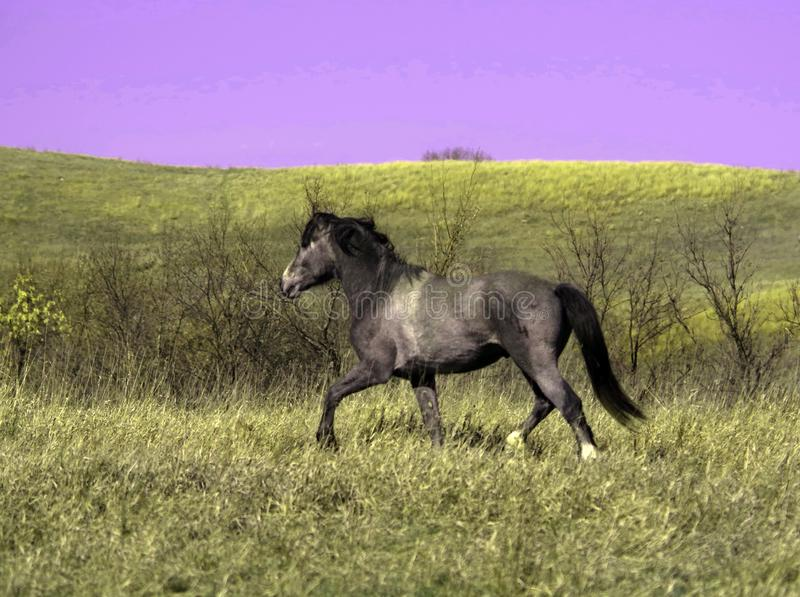 Feral stud horse running on the plains. Feral horse stud running plains royalty free stock images