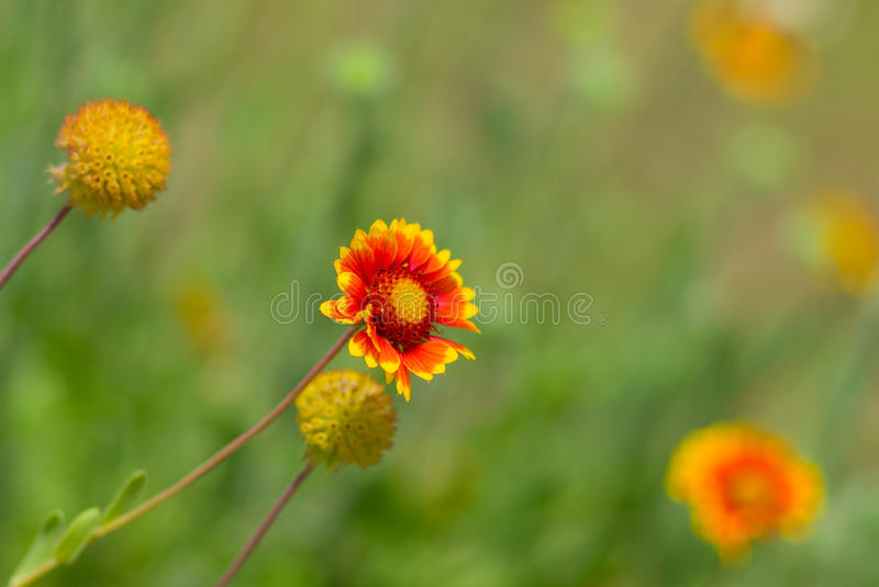 Feral Indian blanket flowers. In wild field royalty free stock photography