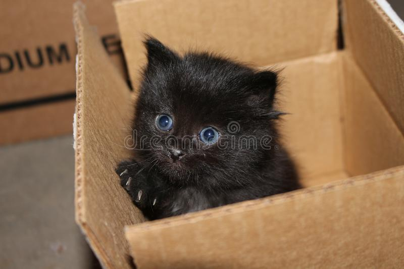 Black Feral Kitten. This feral kitten peeks out of a cardboard box where it was playing royalty free stock photography
