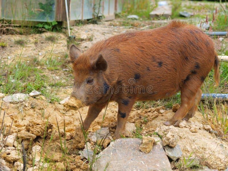Feral Pig sauvage, un animal de parasite au Nouvelle-Zélande image stock