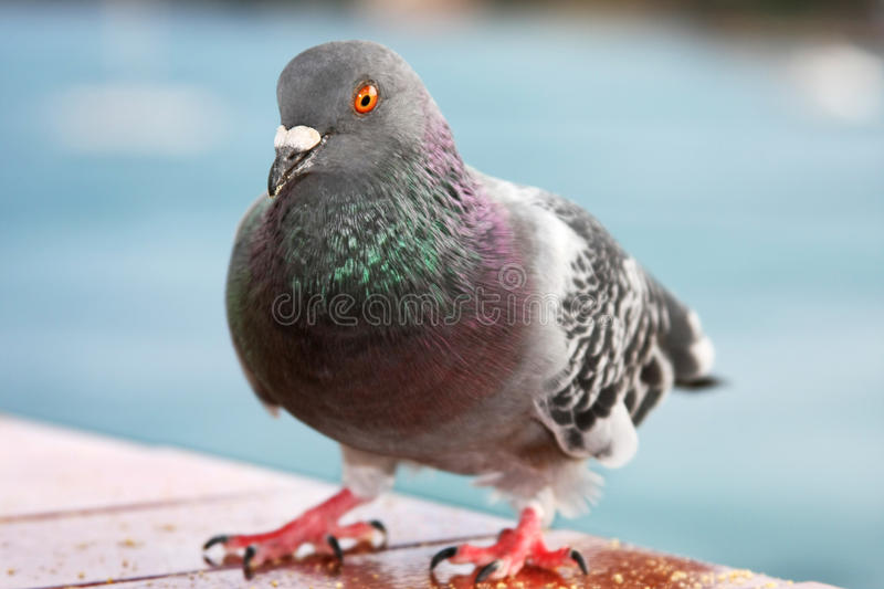 Download Feral pigeon stock image. Image of wild, palma, feral - 12368129