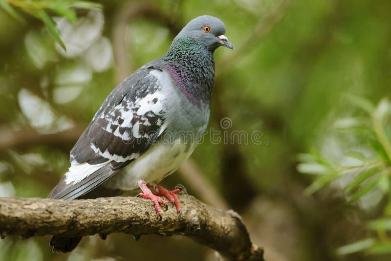 Feral Pigeon imagen de archivo libre de regalías