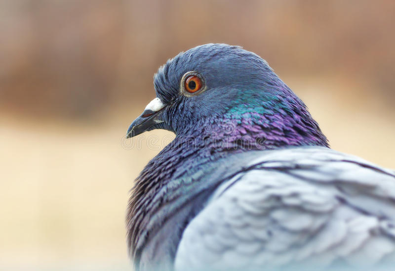 Feral pigeon. Colorful closeup portrait stock photo