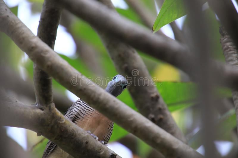 Feral pigeon perching on a branch watching camera Look funny. May use for background royalty free stock images