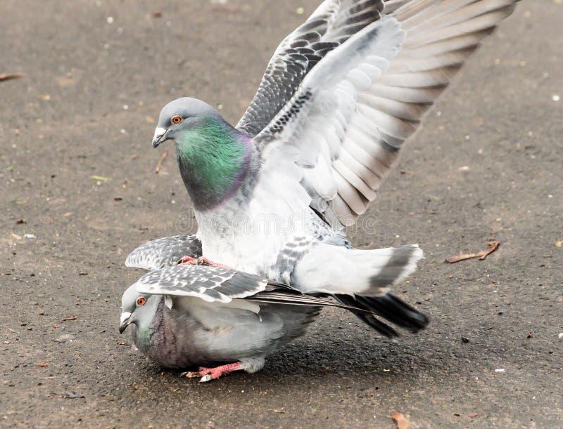 Feral Pigeons amoureux C images stock