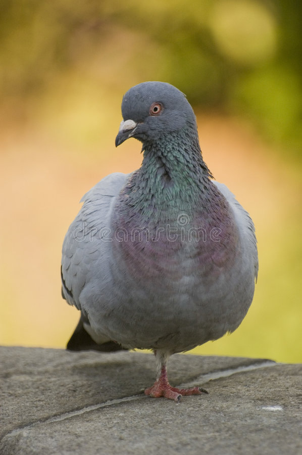 Free Feral Rock Pigeon Stock Images - 5508304