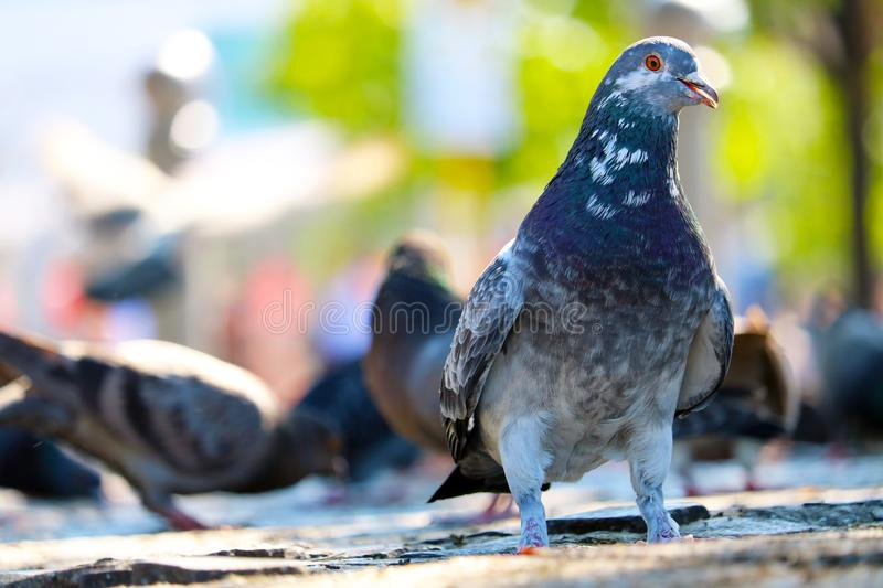 Feral rock pigeon or dove sitting on the pavement in front of a group of foraging blurry pigeons royalty free stock photos