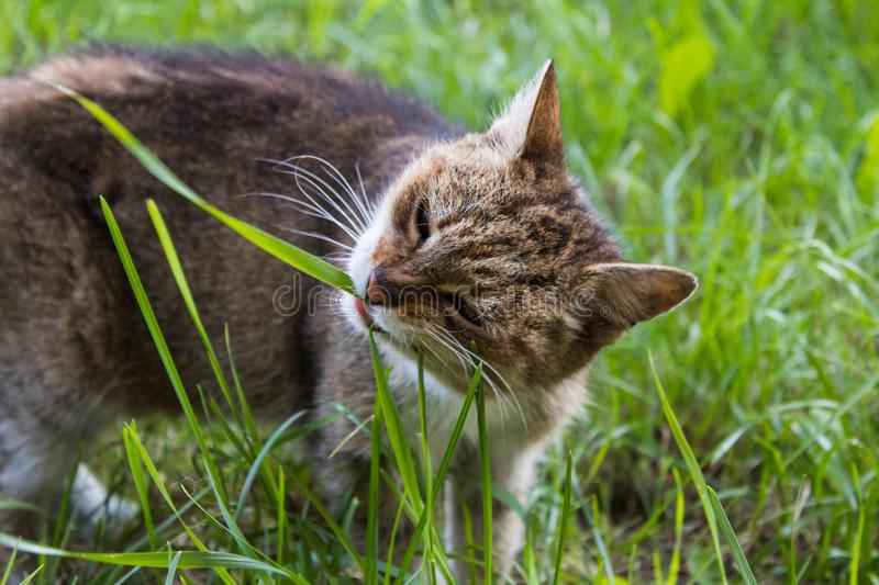 Feral tabby cat eating grass royalty free stock photography