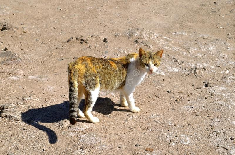 A feral wary cat. A feral cat warily walks through a rocky and sandy terrain royalty free stock photos