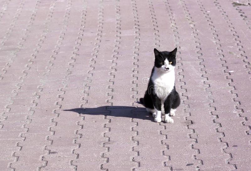 Feral White And Black Cat - RAW Format Royalty Free Stock Photography