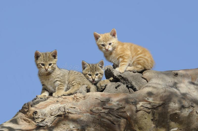 Feral wild cat kittens stock photo