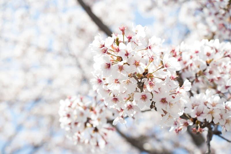 Fermé de la fleur Sakura ( ; cherry) ; fleur sur le fond de ciel bleu image stock