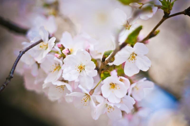 Fermé- des fleurs de cerisier blanches (Sakura) photographie stock