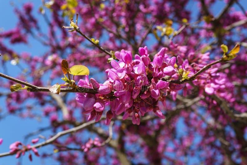 Fermé des judas roses, le siliquastrum de Cercis de Judasbaum fleurit image stock