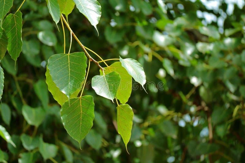 Fermé vers le haut d'un groupe de belles feuilles d'arbre de Bodhi à la lumière du soleil image libre de droits