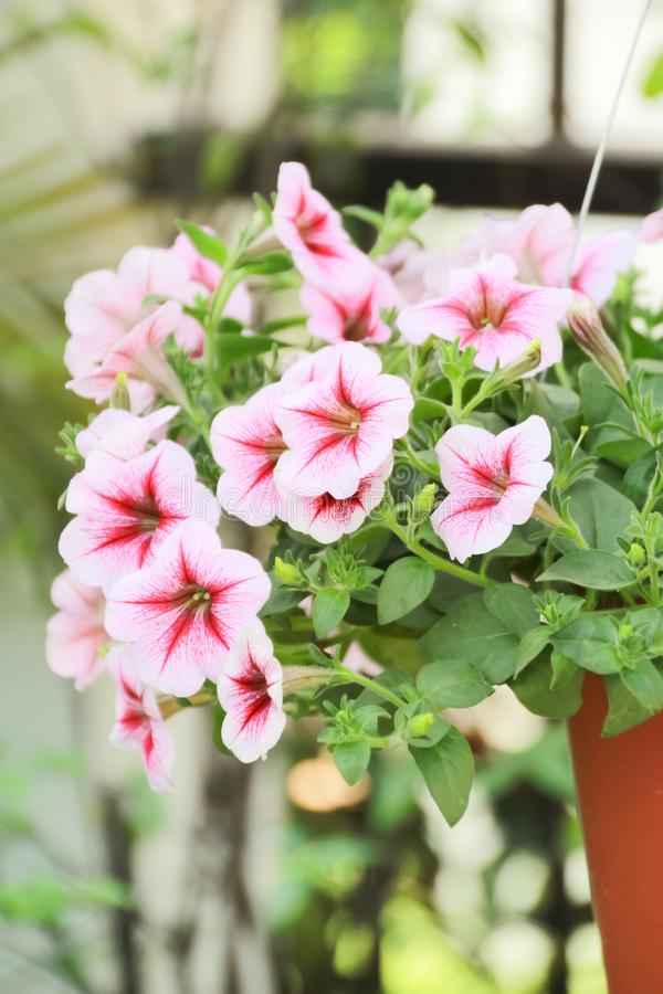 Fermé vers le haut de la fleur de pétunia, fleur rose de pétunia photographie stock