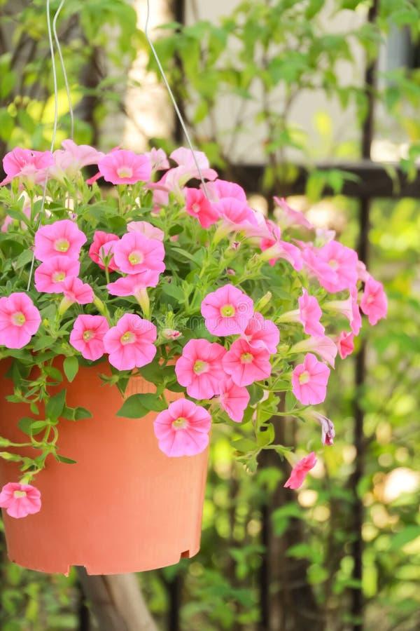 Fermé vers le haut de la fleur de pétunia, fleur rose de pétunia image libre de droits