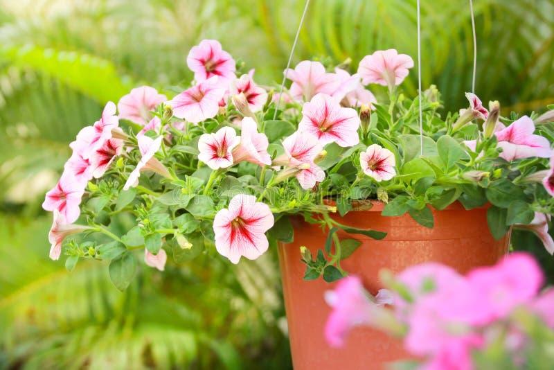 Fermé vers le haut de la fleur de pétunia, fleur rose de pétunia photographie stock libre de droits