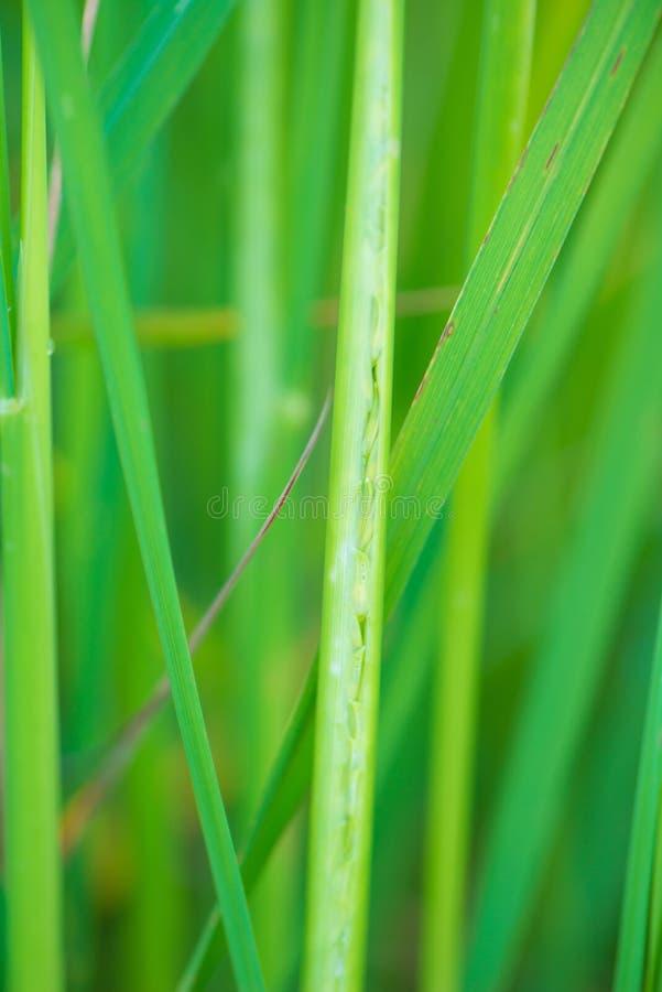 Fermé vers le haut du grain de produit de riz dans la ferme de paddy photos libres de droits